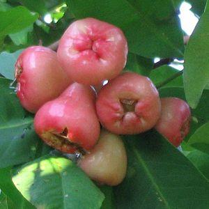 Wax apples Taken June 30, 2005 by Allen Timoth...