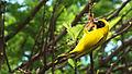 Weaver Bird (8176922797).jpg