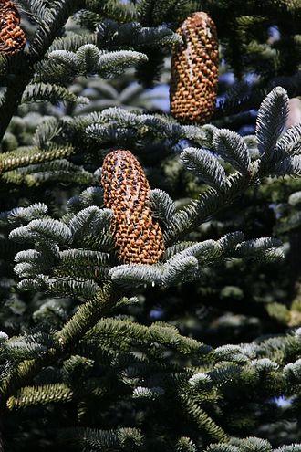 Abies procera - Image: Weibliche Zapfen der Edeltanne (Abies procera)02