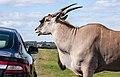 West Midland Safari Park (9659714987).jpg
