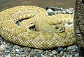 Western Diamond-backed rattlesnake. Hypomelanistic - Flickr - gailhampshire.jpg