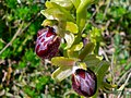 Western Spider Orchid (Ophrys occidentalis) (8338445540).jpg