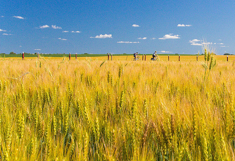 An image of a wheat field on a sunny day, with cyclists along a path in the distance