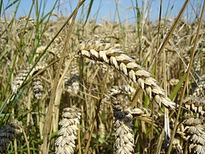 Archaeology and the Book of Mormon - Wheat was domesticated in the Old World and was introduced on the American continent by Europeans.