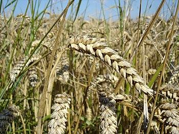 Wheat. Español: Trigo. Français : Blé. Magyar:...