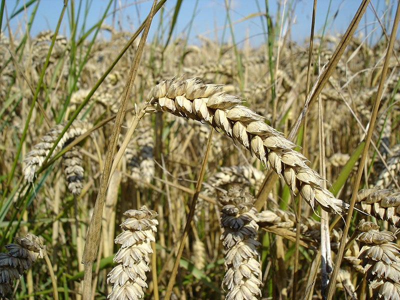 File:Wheat close-up.JPG