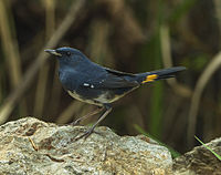 White-bellied Redstart - Thailand S4E9343 (19367476501).jpg