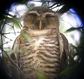 White-browed Owl Athene superciliaris, near Beroroha, Madagascar.jpg