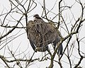 White-rumped Vulture (Gyps bengalensis) - Flickr - Lip Kee.jpg