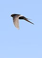 White-rumped swift, Apus caffer, at Suikerbosrand Nature Reserve, Gauteng, South Africa (23270378591).jpg