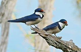 White-throated Swallows (Hirundo albigularis) (6817418149).jpg