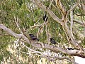 White-winged Choughs in a River Red Gum (1).jpg