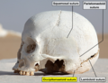 WhiteDesertSkullCropped - Occipitomastoid suture.png