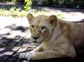 White Lion 004.jpg
