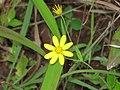 Wild Flower at Kaas Plateau.jpg