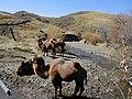 Wild camels - panoramio.jpg