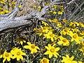 Wildflowers, fort rock (801862725).jpg