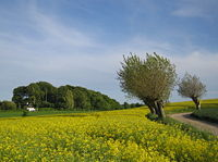 Willows and flowering rapefield.jpg