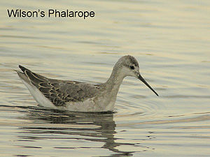 Wilson's phalarope - First-cycle with some retained juvenile coverts