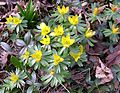 Winter Aconite (Eranthis hyemalis) - Flickr - Jay Sturner (1).jpg
