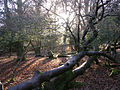 Winter woodland scene south of Ocknell Arch, New Forest - geograph.org.uk - 92995.jpg