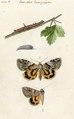 Winterthurer Bibliotheken Ms 8° 154-ordo 21-003 J R Schellenberg Noctua Ordo 21 Larvae ciliatae Phalaenae Nocturnae festivae.tif
