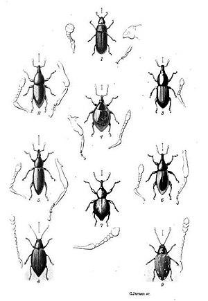 Thomas Vernon Wollaston - Plate from Wollaston's Coleoptera Sanctæ-Helenæ (1877)