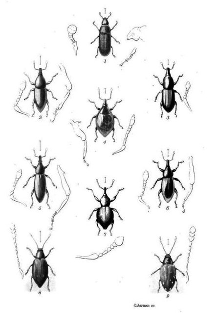 Plate from Wollaston's Coleoptera Sanctae-Helenae (1877) Wollaston Thomas Vernon 1877 bugs.jpg