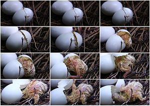 Common wood pigeon - Hatching of a Common Wood Pigeon