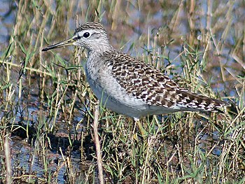 English: Wood Sandpiper Tringa glareola at Bha...