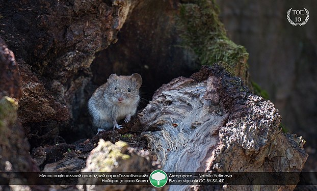 Wood mouse in Holosiivskyi Forest.jpg