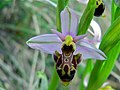 Woodcock Bee Orchid (Ophrys scolopax) (8338463010).jpg