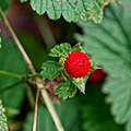 Woodland strawberry - Flickr - Stiller Beobachter.jpg
