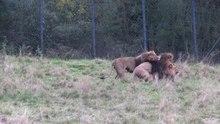 Fil: Wuppertal - Zoo - Panthera leo 01 (1) ies.webm
