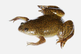 African clawed frog - Image: Xenopus laevis 02