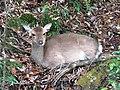 Yakushima Deer 02.jpg