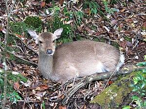 Kirishima-Yaku National Park - Image: Yakushima Deer 02