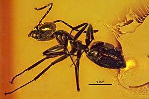 1868 in paleontology - Anonychomyrma geinitzi