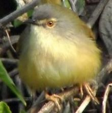 Yellow-bellied Prinia1.jpg