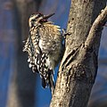 Yellow-bellied Sapsucker (5381564483).jpg