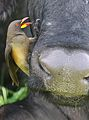 Yellow-billed oxpecker, Buphagus africanus, on Cape buffalo in Chobe National Park, Botswana. (32331444296).jpg