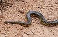 Yellow Anaconda (Eunectes notaeus) crossing the road ... - Flickr - berniedup.jpg