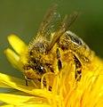 Yellow Bee (254461865).jpeg