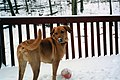 Yellow Labrador in the Snow.jpg