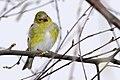 Yellow bird, tilted head (17094756998).jpg