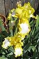 Yellow flower Santa Cruz.jpg