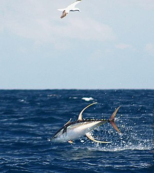 Yellowfin tuna - Yellowfin tuna jumping