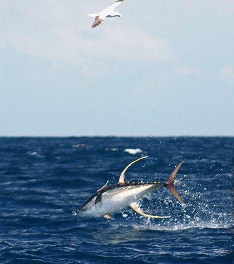 Yellowfin tuna diving