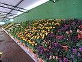 Yercaud 44th Flowershow-13-yercaud-salem-India.jpg