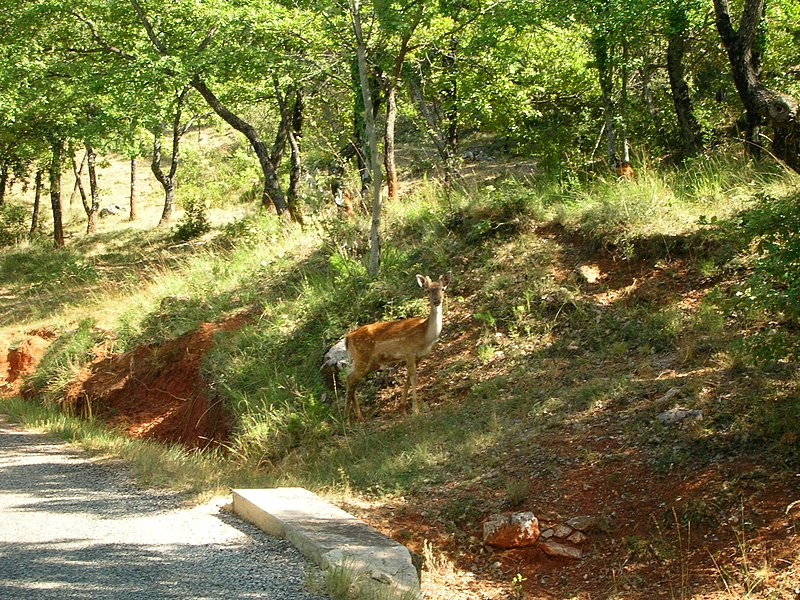 Young deer on a small road in Luberon (France)